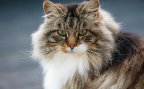 Картинка портрет, взгляд, Норвежская лесная кошка, кошка, мордочка, пушистая, кот