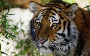 Обои кошка, взгляд, листья, крупный план, природа, тигр, фон, портрет, растения, дикие кошки