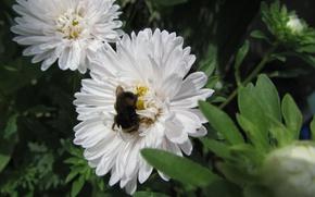 Картинка белый, цветок, пчела
