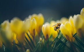 Картинка макро, желтый, пчела, весна, крокус
