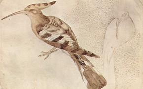 Картинка птица, Удод, Pajaro, Antonio Pisanello