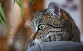 Обои кот, глаза, отдых