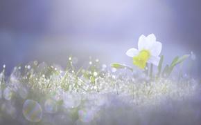 Обои весна, свет, нарцисс