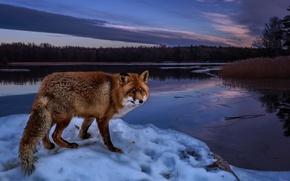 Обои пейзаж, река, лиса, лес, вечер, берег, деревья, природа, лисица, зима, рыжая, снег