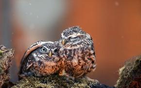 Обои photography, animals, eyes, wings, feathers, birds, hug, situation, close up, protection, beak, chicks, Owls