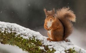 Картинка снег, дерево, мох, белка, рыжая