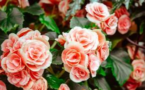 Обои цветы, куст, flowers, бегония