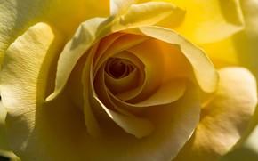 Картинка макро, желтый, роза