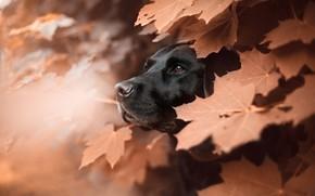 Картинка морда, листья, животное, собака, профиль, клён, пёс