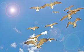 Обои птицы, полет, крылья, солнце, небо, чайки