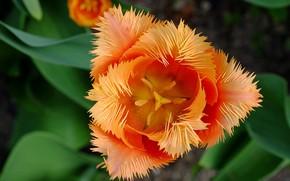 Картинка макро, оранжевый, тюльпан, лепестки