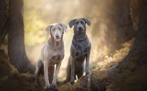 Картинка боке, две собаки, Silver Labradors