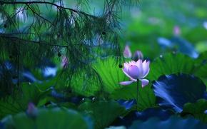 Картинка зелень, цветок, листья, свет, цветы, ветки, синий, природа, пруд, сияние, настроение, лепестки, лотос, хвоя, водоем, ...