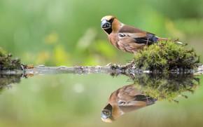 Картинка вода, отражение, птица, мох, Дубонос