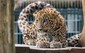 Обои кошка, глаза, взгляд, поза, котенок, дерево, забор, лапки, малыш, леопард, хвост, котёнок, детеныш, зоопарк, дикая, ...