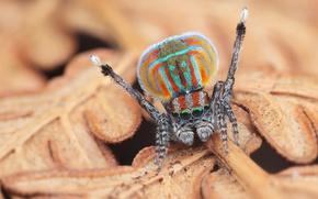 Картинка глаза, макро, природа, поза, фон, узор, листок, растение, пауки, танец, лапки, паук, окрас, прикольный, бежевый, …