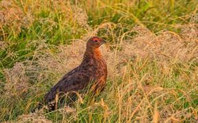 Картинка трава, природа, птица, шотландская куропатка