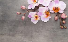 Обои орхидея, pink, flowers, orchid