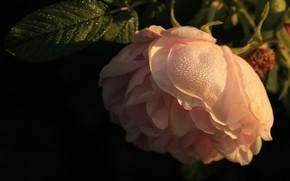 Картинка роса, роза, лепестки, кремовый