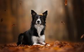 Картинка осень, листья, листва, собака, боке, Бордер-колли