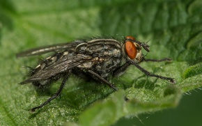 Картинка природа, насекомое, серая мясная муха