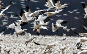 Картинка птицы, стая, Snow Geese