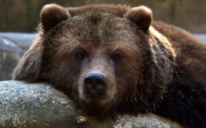 Картинка взгляд, морда, медведь