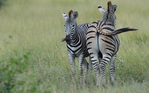 Картинка трава, природа, пара, зебры