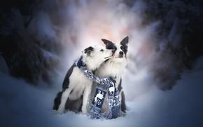 Обои зима, снег, поцелуй, пара, друзья, две собаки, Бордер-колли