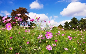 Картинка зелень, поле, лето, небо, трава, солнце, облака, деревья, цветы, лужайка, космея