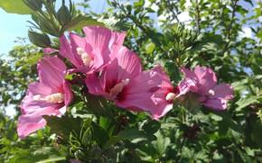 Картинка лето, листья, цветы, Гибискус сирийский, Meduzanol ©