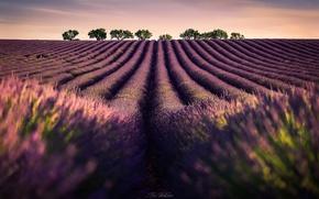 Обои поле, небо, деревья, цветы, лаванда