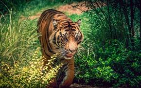 Обои трава, солнце, зелень, тигр, боке, крадётся, кусты, полосатый, хищник