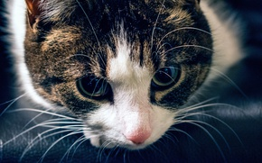 Картинка взгляд, морда, Кот, полосатый