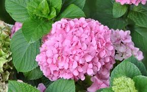 Картинка лето, листья, куст, цветение, гортензия