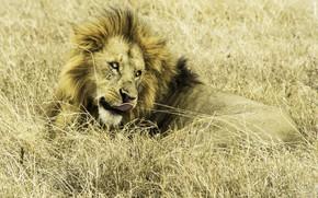 Картинка природа, лев, Африка