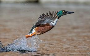 Картинка вода, брызги, птица, крылья, широконоска утка