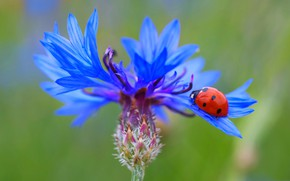 Картинка цветок, божья коровка, насекомое, василек