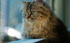 Обои кот, окно, взгляд, кошка
