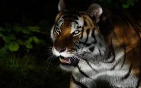 Картинка зелень, кошка, глаза, морда, листья, свет, ночь, природа, тигр, темный фон, портрет, тень, хищник, пасть, …