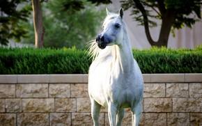 Картинка белый, конь, лошадь, позирует