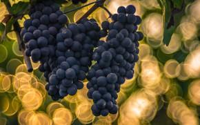 Картинка фон, виноград, боке