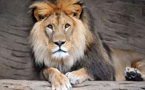 Обои хищник, лев, большая кошка