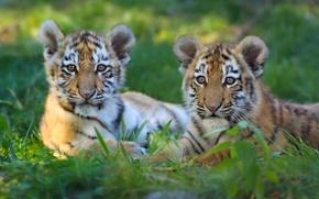 Обои котята, парочка, тигры, тигрята