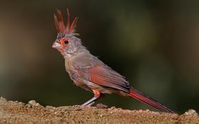 Картинка птица, перья, клюв, хвост, попугайный кардинал