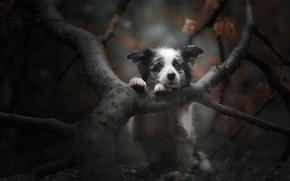 Картинка осень, ветки, дерево, собака, грустный взгляд, мордашка, боке, пёсик, Бордер-колли