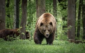 Картинка лес, медведь, большой
