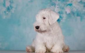 Картинка белый, фон, Собака, щенок, Малыш