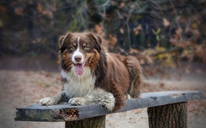 Обои australian shepherd, скамья, взгляд, собака