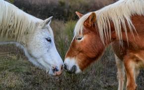 Картинка природа, лошади, пара